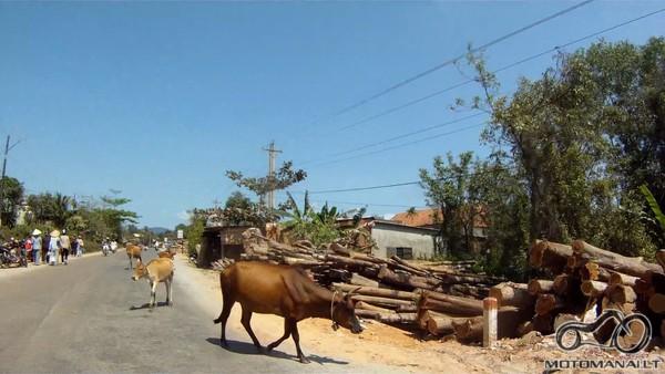 Prasedejo miestas, reikia buti atsargiam, nes karve numust baisu :)