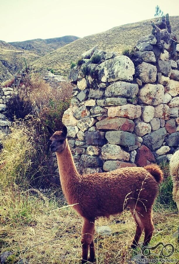 alpakos Peru Anduose
